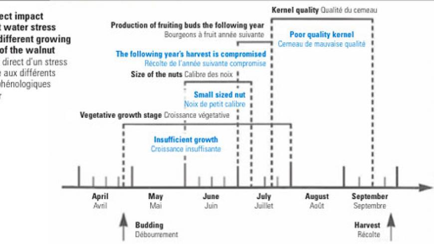 The direct impact of plant water stress on the different growing stages of the walnut