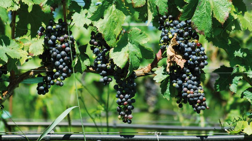 SEVERE WATER STRESS CAN ALTER THE COMPONENTS OF THE HARVESTED GRAPE, DELAY RIPENING AND LEAD TO A LOSS OF PRODUCTION DUE TO THE SHRIVELLING OF THE BERRIES