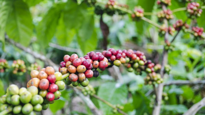 Coffee trees produce fleshy fruit, being bright red, purple or yellow in colour, that are known as coffee cherries or coffee berries, with two nut-like seeds that each contain a coffee bean