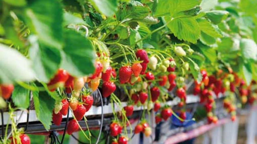 Irrigation management is one of the most important key factors for the successful production of small fruits.