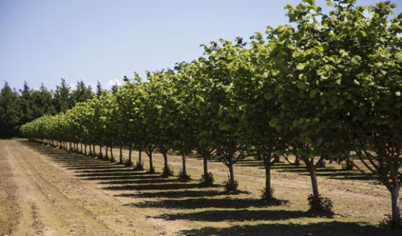 The production of walnuts and hazelnuts under drip and micro-sprinkler irrigation