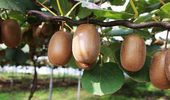 Adour (PGI) Kiwi Fruit: Irrigation with Anti-Hail Netting and a Frost Protection System