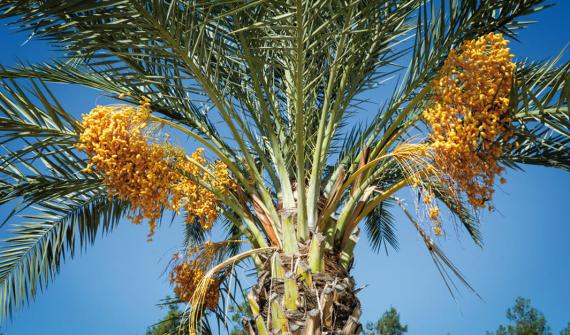 The cultivation of the Date Palm